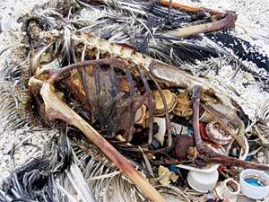 estómago de una ballena lleno de plásticos